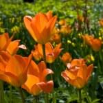 Orange tulips — Stock Photo