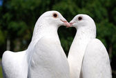 Pigeons in love — Stock Photo