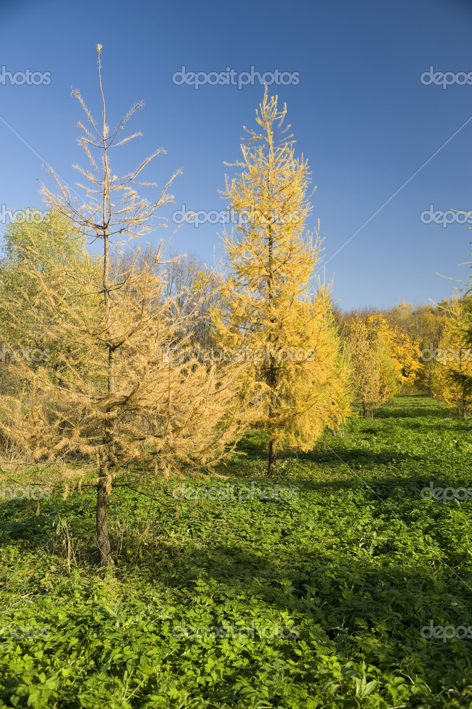 Yellow Fur tree in the autumn park  — Photo #1683768