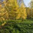Yellow Fur tree in the park — Стоковое фото