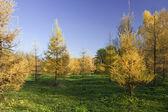 желтый мех дерево в лесу — Стоковое фото