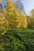 желтое дерево меха в парке — Стоковое фото