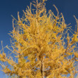 Royalty-Free Stock Photo: Yellow Fur tree closeup
