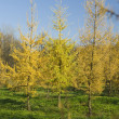 Yellow Fur tree in park — Photo