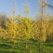 Yellow Fur tree in park — Stok fotoğraf
