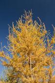 Gul päls träd närbild — Stockfoto