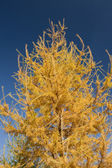 Yellow Fur tree closeup — Stock fotografie