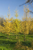 Yellow Fur tree in park — Stock fotografie