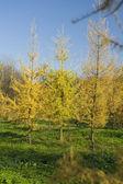 žlutá srst strom v parku — Stock fotografie