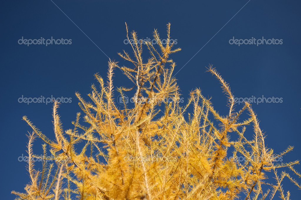 Yellow Fur tree in the autumn park  Stockfoto #1718211