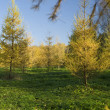 Yellow Fur tree — Stockfoto