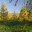 Foto Stock: Yellow Fur tree