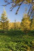 желтое дерево меха — Стоковое фото