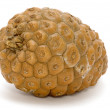 Pine cone -  