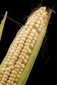 Corn in cob on black — Stock Photo