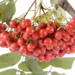 Stock Photo: Ashberries close up