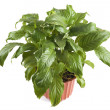 Indoor plant closeup — Stock Photo