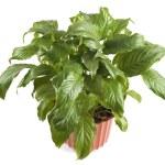 Indoor plant closeup — Stock Photo