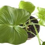 Indoor plants macro — Stock Photo