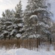 Winter forest — Stock Photo #2362062
