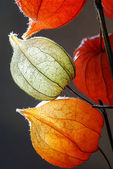 Orange, green and yellow flowers of Physalis against gray background — Stock Photo