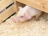Piglet — Stock Photo