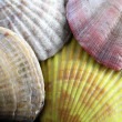 Stock Photo: Shells4