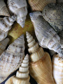 Shells — Stock Photo
