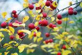 苹果树 — 图库照片