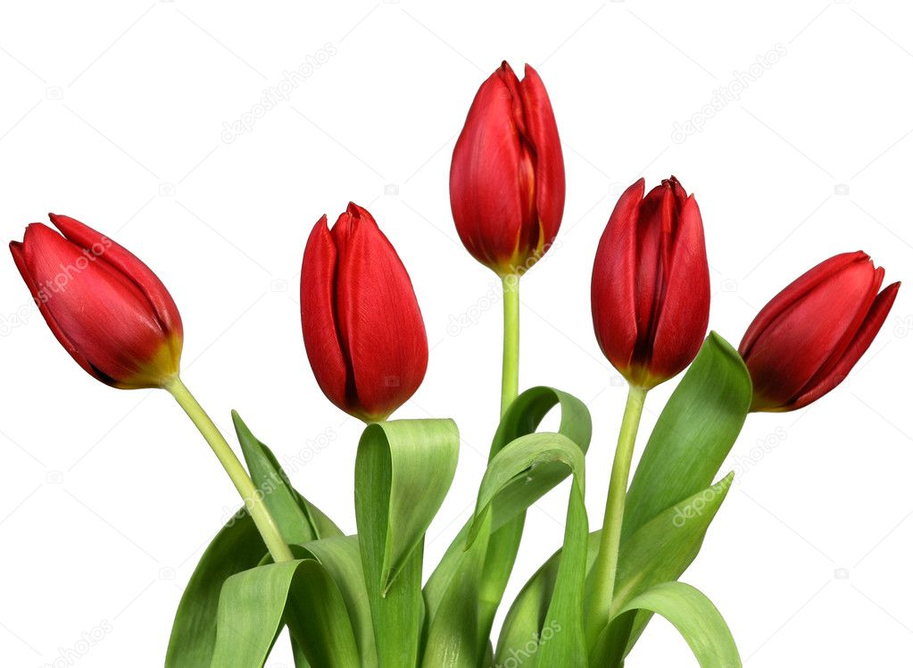 fresh open tulips: two violet and one orange — Stock Photo #1693400