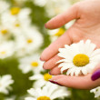 Women hands holding one daisy flower — Stock Photo