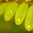 Close-up of wild ash leaf after rain — 图库照片