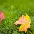 Maple leafs on the grass — Stock Photo
