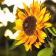 Sunflower at the night - Stock Photo
