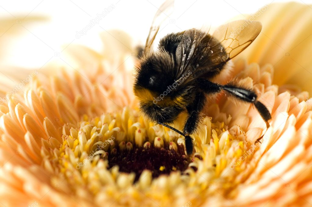 A bumble-bee collects pollen on (shallow dof) — Стоковая фотография #1694233