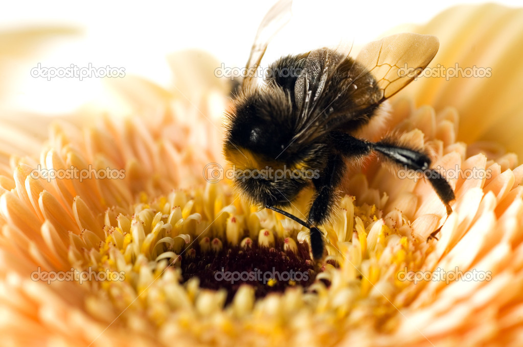 A bumble-bee collects pollen on (shallow dof) — Foto de Stock   #1694233