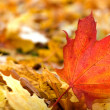 Maple leafs (shallow dof) — Stock Photo