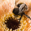 A bumble-bee collects pollen on — 图库照片