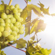 Grapes under the sun - Stock Photo