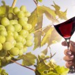 Grapes under the sun and glass of wine - 图库照片