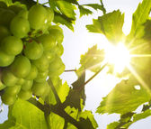 Grapes under the sun (shallow DOF) — Stock Photo