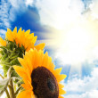 Stock Photo: Sunflower infront of the blue sky