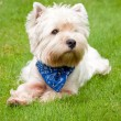 West highland white terrier — Stock Photo #1990732