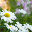 Stock Photo: Daisy (shallow dof)
