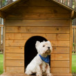 West highland white terrier in the hut — Stock Photo