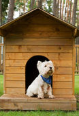 West highland white terrier in the hut — Zdjęcie stockowe
