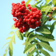 Stock Photo: Ashberry