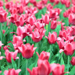 Red tulip at spring - Stock Photo