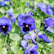 Blue Viola at spring — Stock Photo
