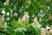 Chestnut at spring — Stock Photo